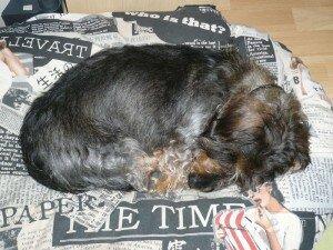 Le bout de teckel, épuisé après avoir beuglé après tous les chiens qu'il a croisés...